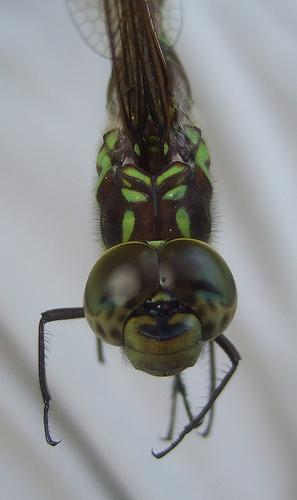Green-striped Darner - top of head - Aeshna verticalis - female