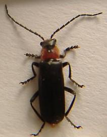 In this genus? - Cantharis fidelis