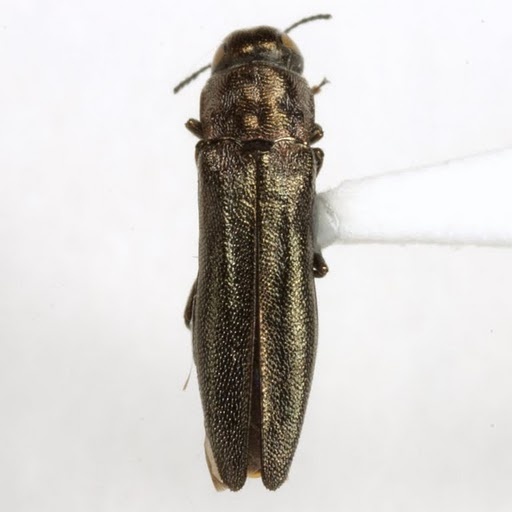 Agrilus pubescens Fisher - Agrilus pubescens - female