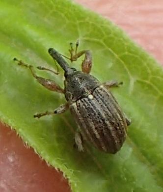 weevil on goldenrod leaf - Anthonomus