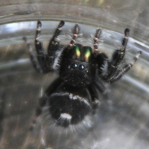 Daring Jumping Spider - Phidippus audax
