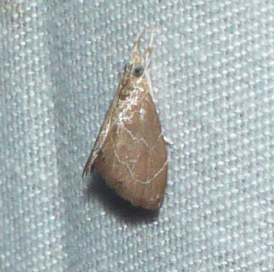Stegea sola - Glaphyria peremptalis
