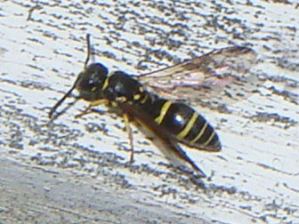 Small Black With Yellow Stripes 1 Flying Beewolf Massachusetts Ancistrocerus Adiabatus Bugguide Net