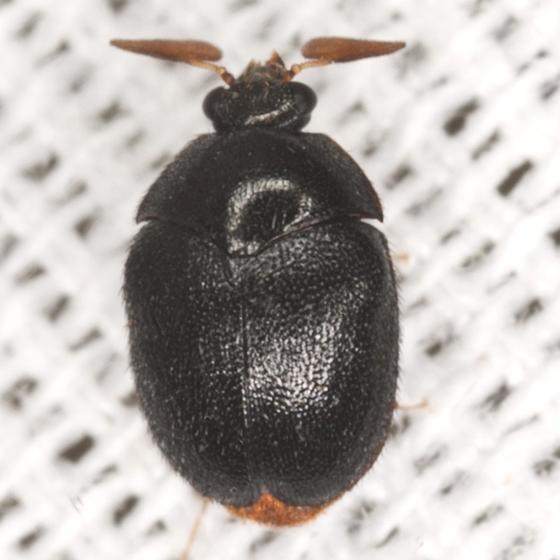 Black Beetle - Thaumaglossa americana