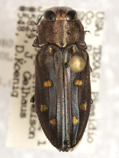 Chrysobothris octocola LeConte - Chrysobothris octocola