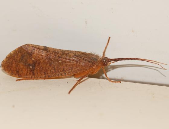 Caddisfly - Ptilostomis