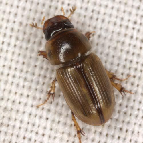 Aphodiine Dung Beetle - Aphodius pseudolividus