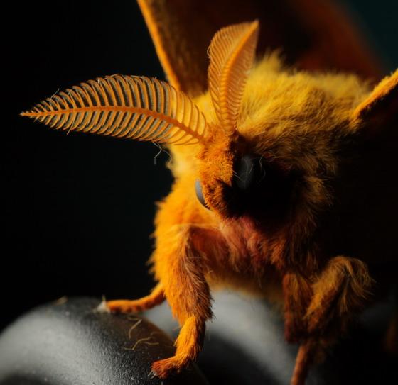 Io moth, facial closeup - Automeris io - male