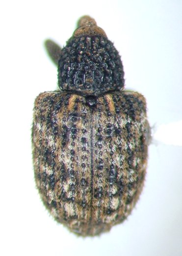 Pheloconus cribricollis