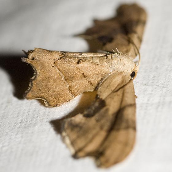 Brown Scoopwing - Calledapteryx dryopterata