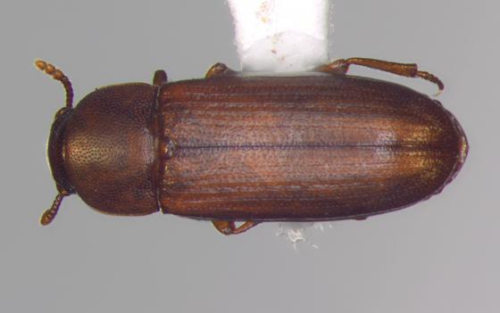 Tenebrionidae, dorsal - Tribolium castaneum