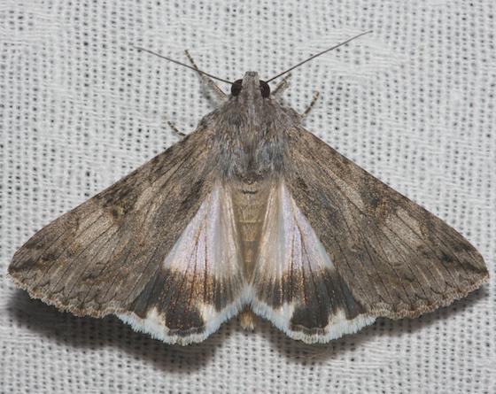 Moth unknown - Melipotis jucunda