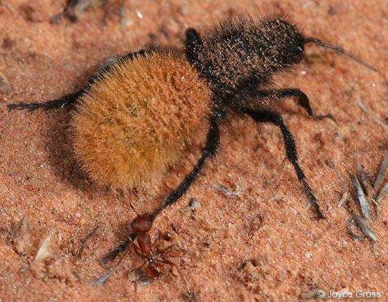 velvet ant - Dasymutilla Yellow Velvet Ant