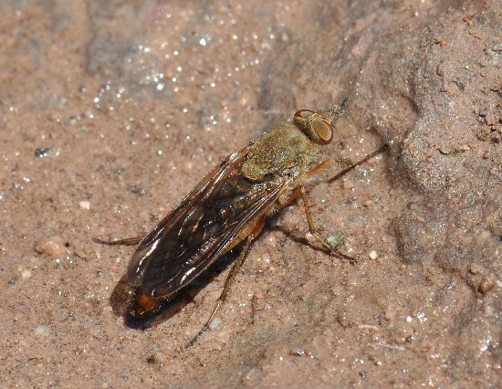 Stiletto Fly - Breviperna placida