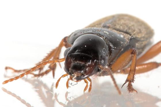 Carabidae - Harpalus rufipes