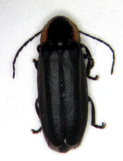 Pyropyga decipiens - male