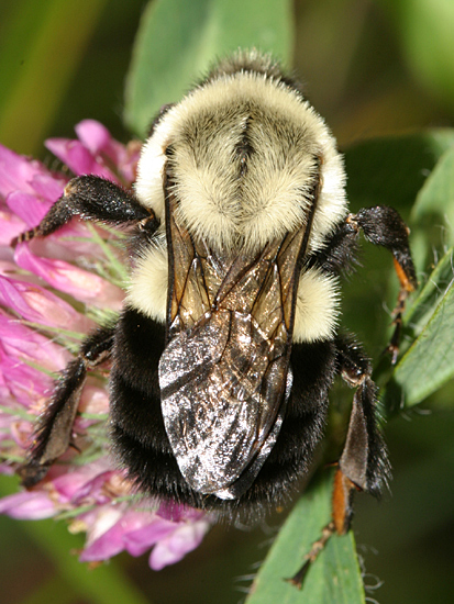 large Bumble Bee - Bombus impatiens - female