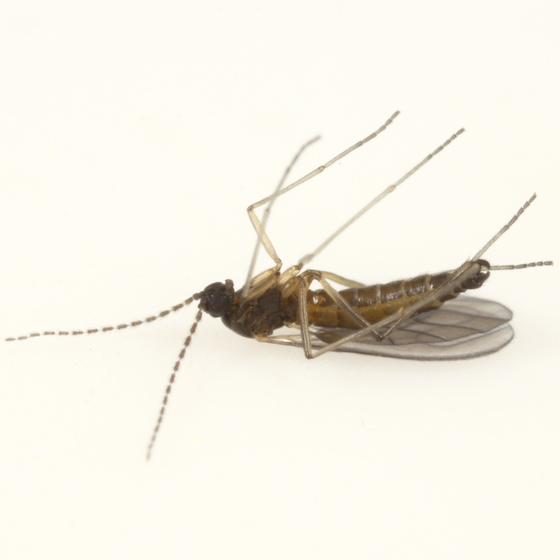 Zygoneura calthella - male