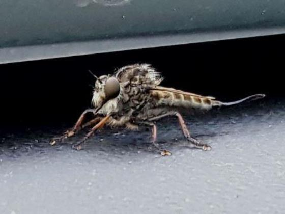Which robber fly is this? - female