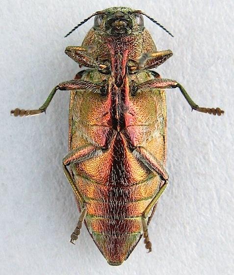 Golden Buprestid - Buprestis aurulenta