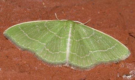 Wavy-lined Emerald, Synchlora aerata - Synchlora aerata