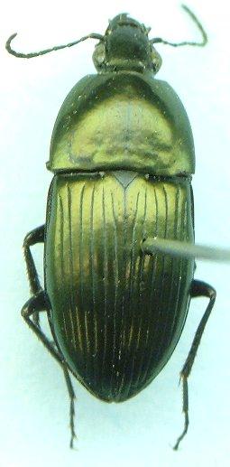 Stenocrepis mexicana - male