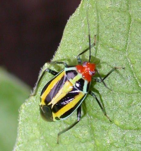 Four-lined Plant Bug - Poecilocapsus lineatus