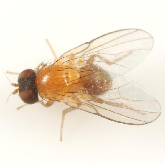 Agromyza diversa - male