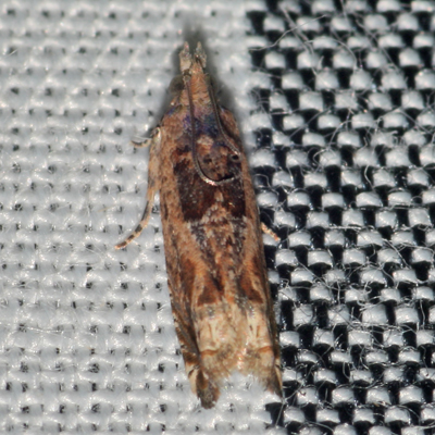 Moth - Crocidosema plebejana - female