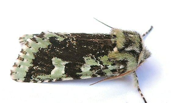 Pennsylvania Moth - Feralia jocosa