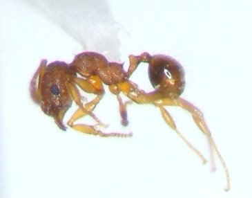 Tiny beer ant - Pheidole moerens