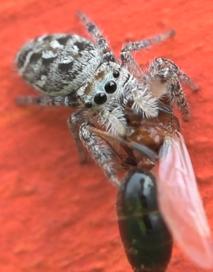 White and brown jumper, eating a flying ant, would appreciate ID - Phidippus mystaceus