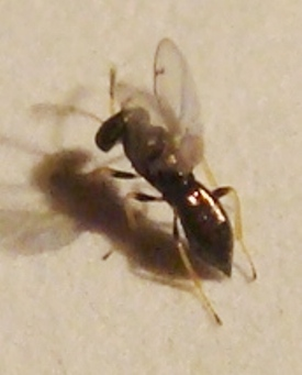 Chalcid Wasp - Pteromalid