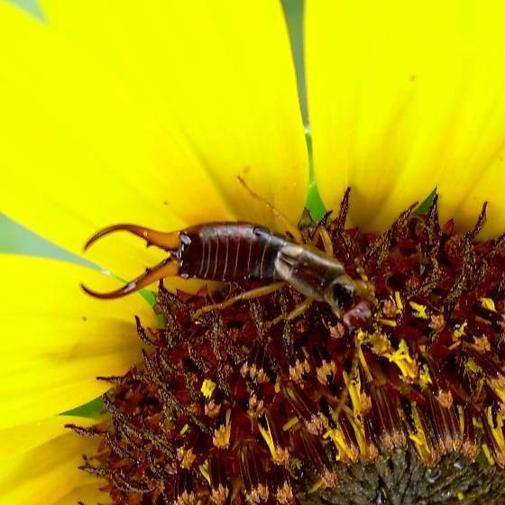 Male European Earwig On Sunflower - Forficula auricularia - male