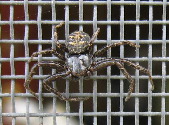 Thomisidae  02 - Bassaniana utahensis - male