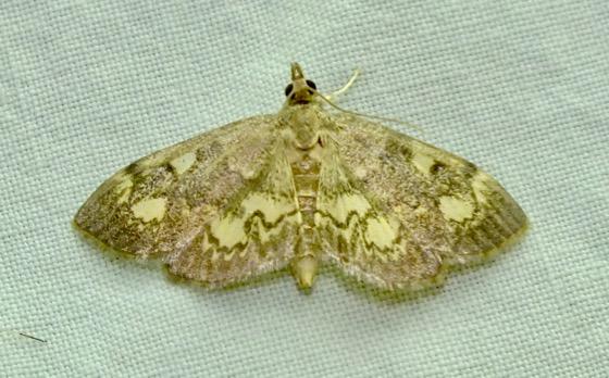 Anania plectilis