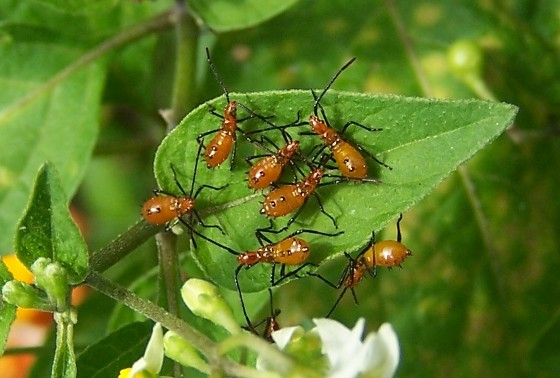 Unknown insects - Leptoglossus phyllopus