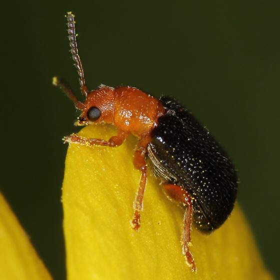 black and orange beetle - Zeugophora scutellaris