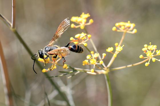 Wasp - Isodontia elegans
