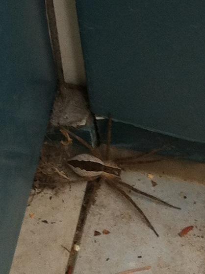 Strange looking spider in Ontario - Pisaurina mira - female