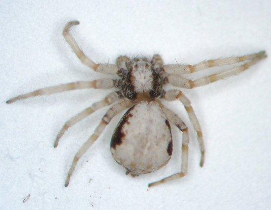 Crabber - Philodromus marxi - female