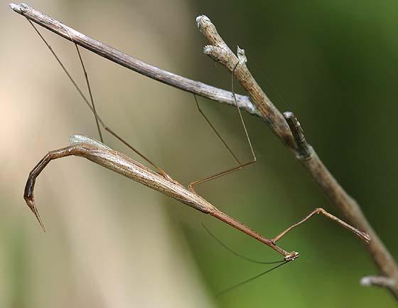 Grass-like Mantis - Thesprotia graminis - male