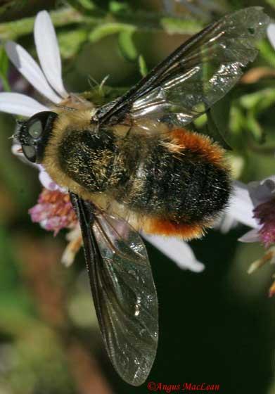 Bee Fly - Villa fulviana