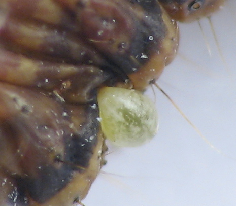 Wasp parasitizing a Pococera caterpillar. 9/22/2010 - Phytodietus