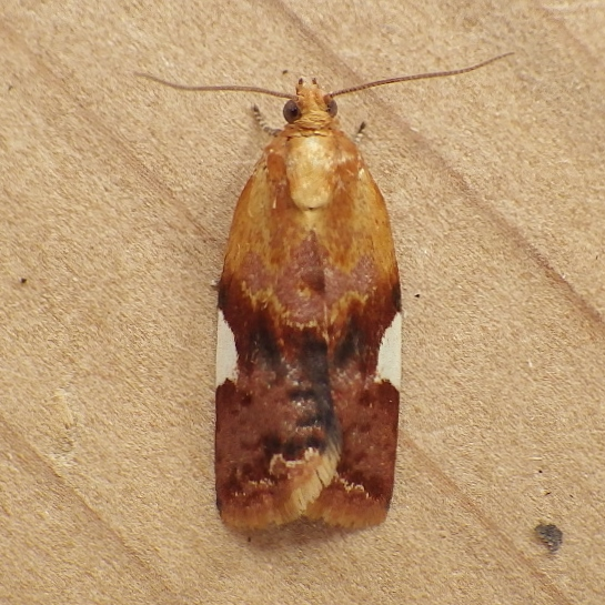 Tortricidae: Clepsis pericana - Clepsis persicana