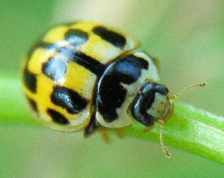 small yellow and black beetle - Propylea quatuordecimpunctata