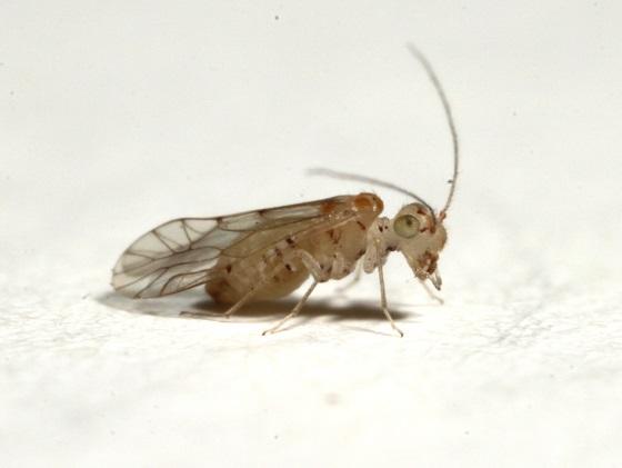 Lachesilla kathrynae - female