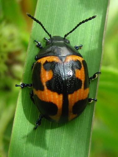 Orange and Black Beetle - Labidomera clivicollis