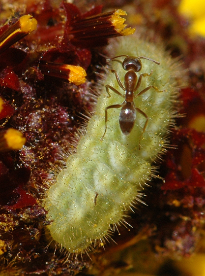 Ant - attended caterpillar - Strymon melinus