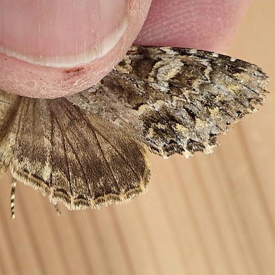 Noctuidae: Platypolia anceps - Platypolia anceps